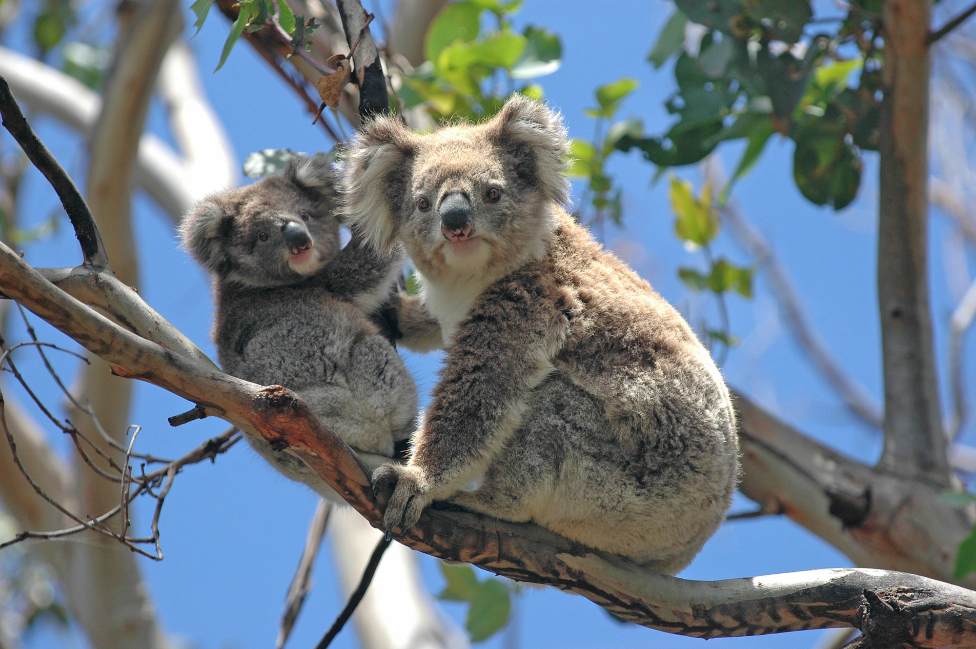 Wild Koalas Along Great Ocean Road Victoria Australia