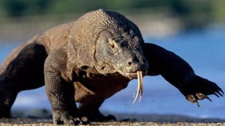 Dragon spotting on Komodo Island in Indonesia - Savile Row Travel