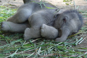 Baby Elephant Resting