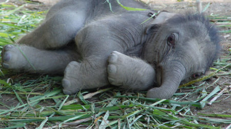 Watch adorable baby elephants playing in Thailand - Savile Row Travel