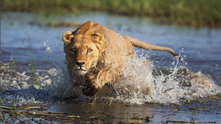 Lion watching on safari in incredible Botswana - Savile Row Travel