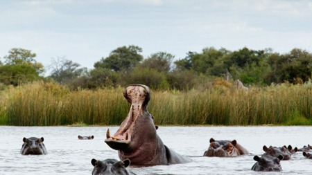 Hippo spotting from a dugout canoe in Botswana - Savile Row Travel