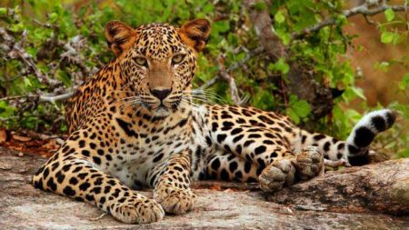 Leopard spotting in Sri Lanka's Yala National Park - Savile Row Travel