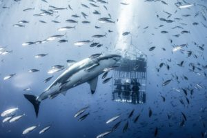Great White Shark tank Experience, Cape Town