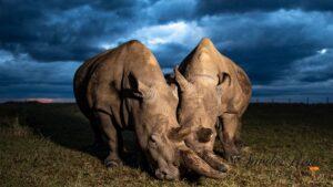 Northern White Rhinos Dark Sky