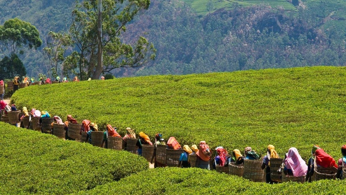 Tea Pickers Sri Lanka 1200w