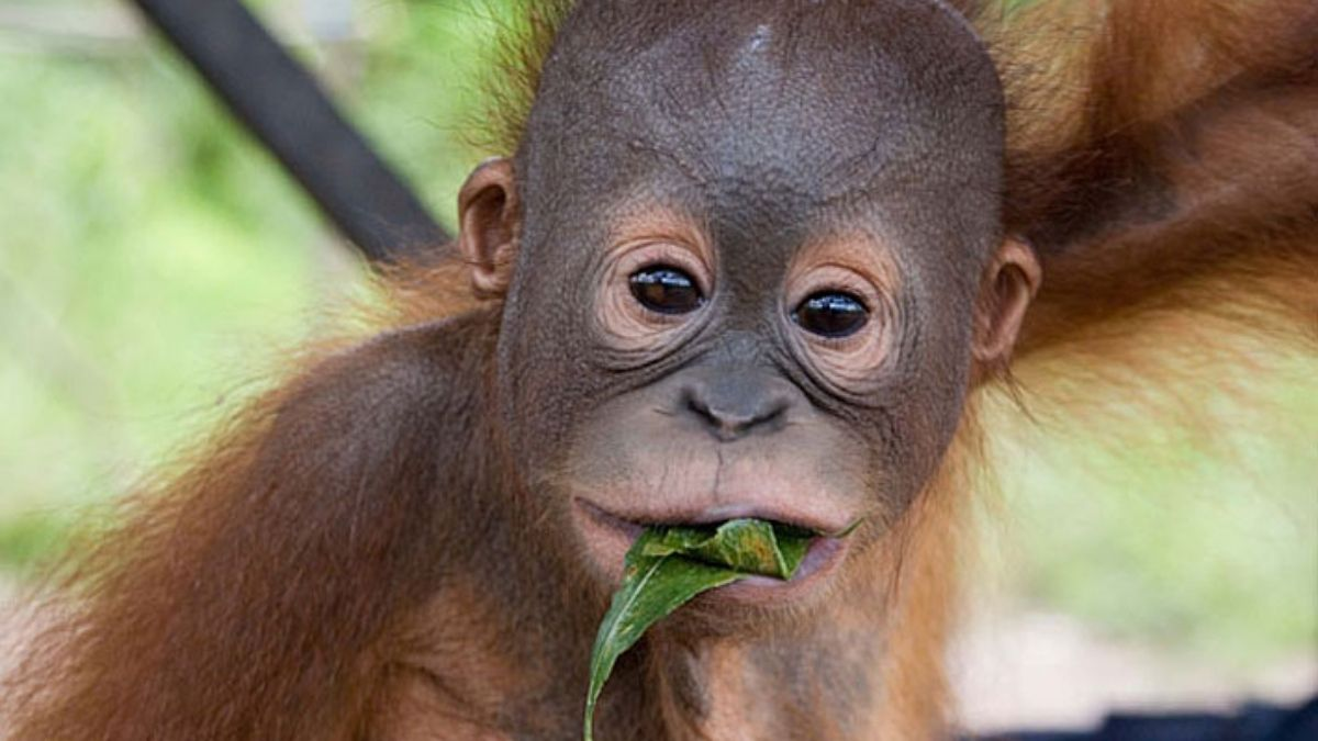 Baby Orang-utan Borneo wildlife photography holiday