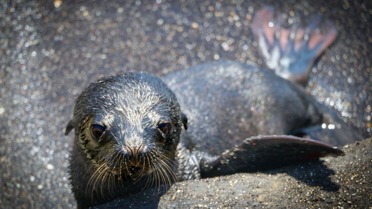 Baby Sealion Galapagos
