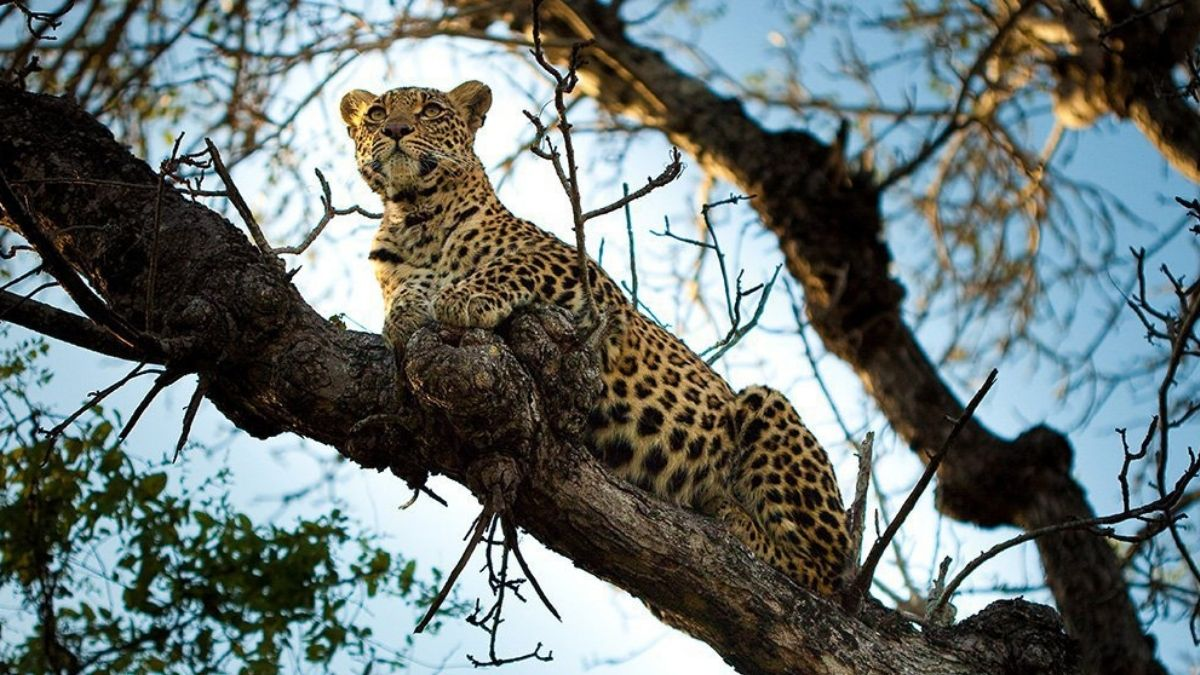 Chitwa Chitwa South Africa Leopard